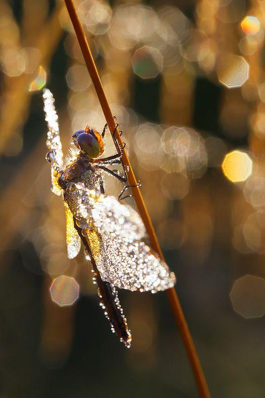 стрекоза, насекомое, утро, макро, природа, роса В золотом бокеphoto preview