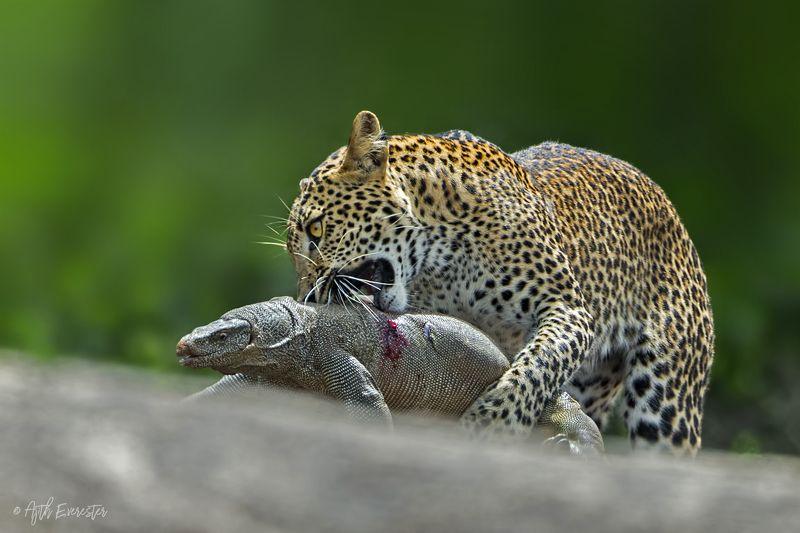 leopard, monitor lizard, srilanka, hunting Srilankan Leopard hunting Monitor Lizardphoto preview