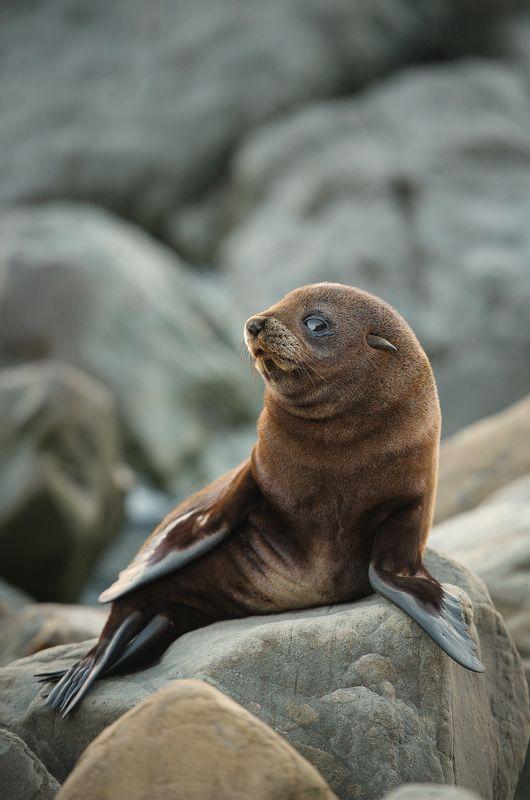 новая зеландия, морской котик, море, океан, путешествие, закат, камни, берег Ну ты фоткаешь?photo preview