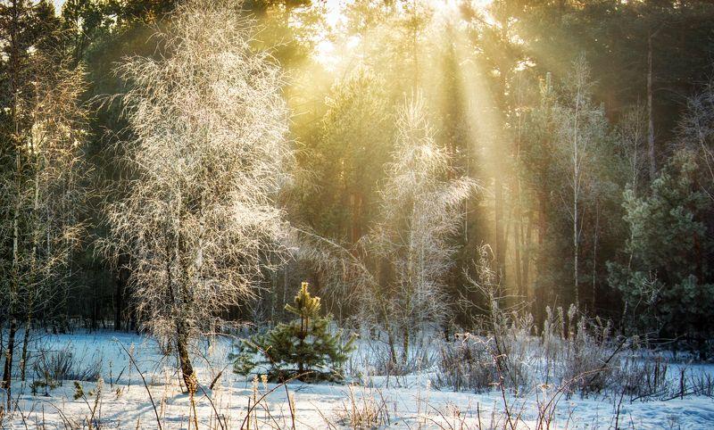 landscape, пейзаж, утро, лес, сосны, деревья, солнечный свет, солнечные лучи, солнце, природа, зима, снег зимнее утроphoto preview