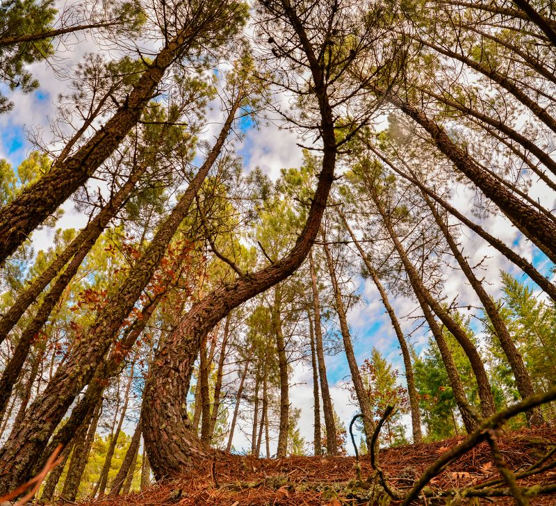 pine, tree, trees, woods, forest, sky, pine, wide angle, panorama, ground, floor, nature, natural, blue sky Pine treesphoto preview