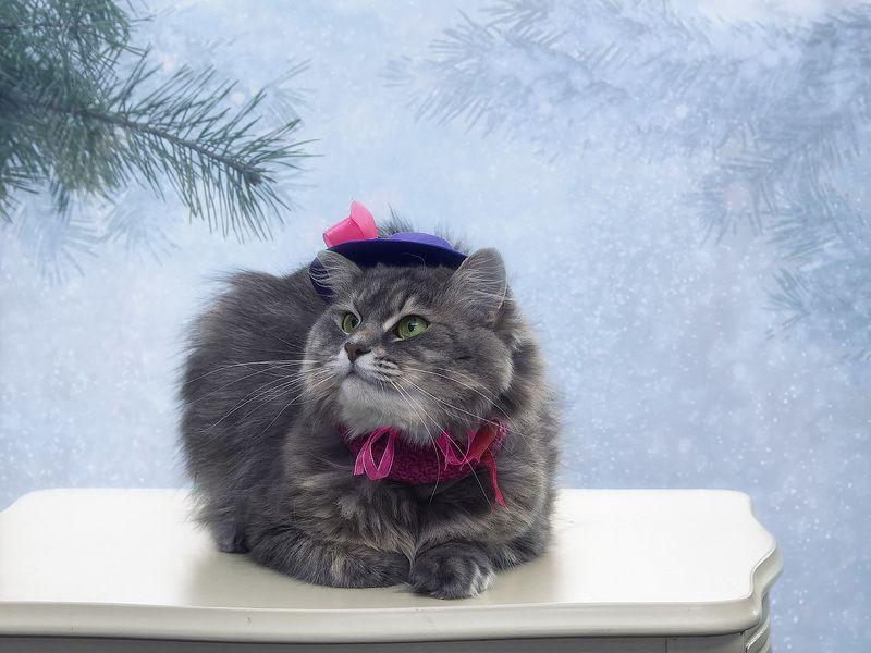 фото животных, домашние питомцы, кошка Масяня, шляпка, зима, снег А я шикарная мадам Брошкина!photo preview