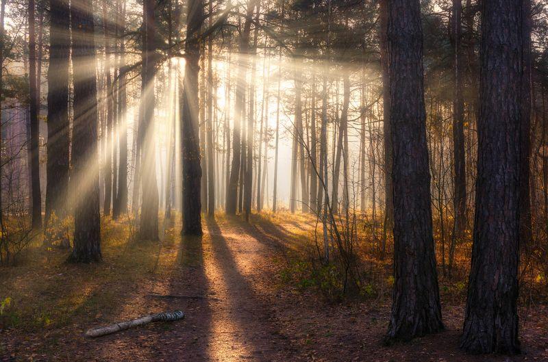 landscape, пейзаж, утро, лес, сосны, деревья, солнечный свет, солнечные лучи, солнце, природа, тропинка утро в лесуphoto preview
