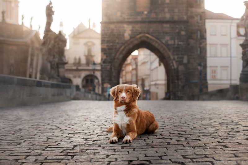 собака, Прага, город, рассвет В прекрасной Прагеphoto preview