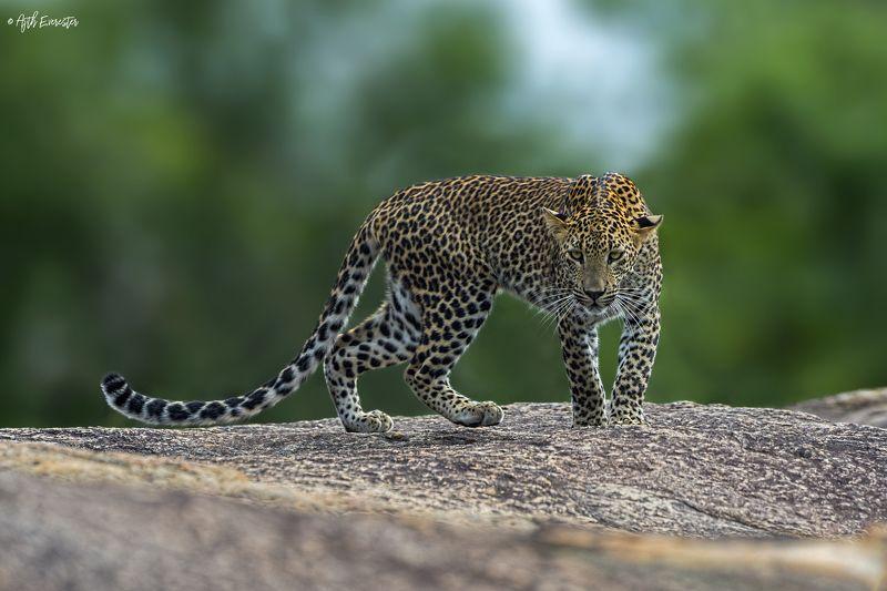 leopard, srilanka, yala, wildlife, bigcat Srilankan Leopardphoto preview