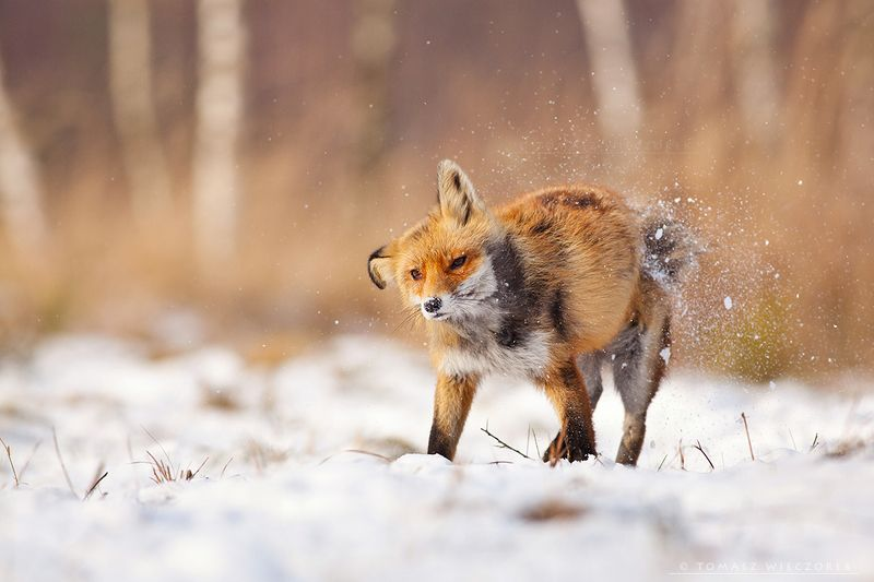 fox, fuchs, red fox, wildlife, shelter, hide, poland, fields, autumn, eye, lucky, shake off, shake, snow, winter, cold, frozen Shaking offphoto preview