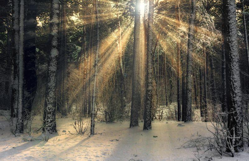 landscape, пейзаж, утро, лес, сосны, деревья, солнечный свет, солнечные лучи, солнце, природа, снег, зима утроphoto preview