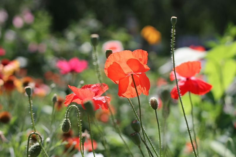 цветы, маки Макиphoto preview