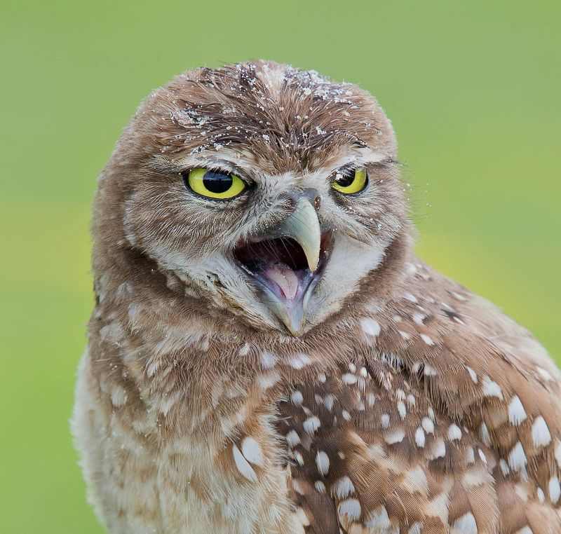 кроличий сыч, florida,burrowing owl, owl, флорида,сыч Портреты Сычей - Burrowing Owlsphoto preview