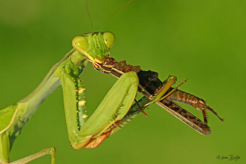 #praying#mantis#eating#graahopper#macro#nature#northcyprus sandwichphoto preview