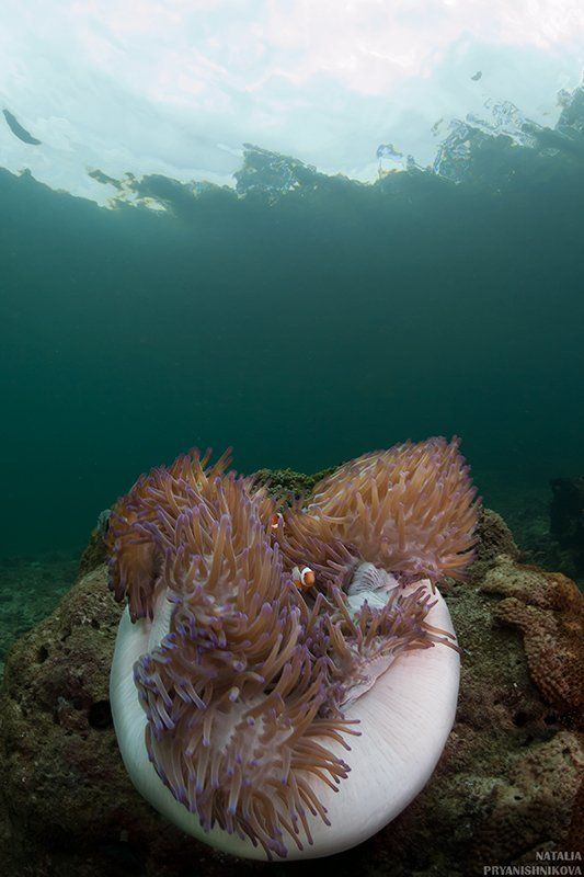 море, рыба, подводная съемка, немо, амфиприон, коралл, актиния, полип все начиналось с...photo preview