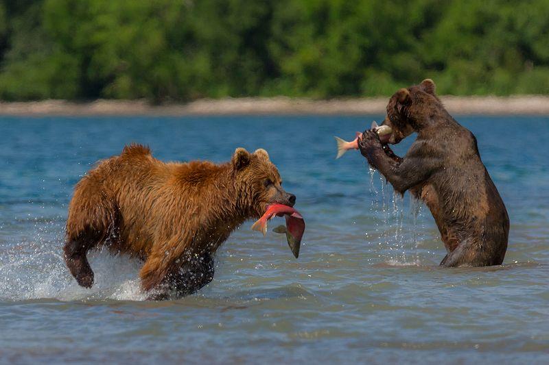 Камчатка, медведь, природа, путешествие, россия, фототур,  Ешь или бегиphoto preview