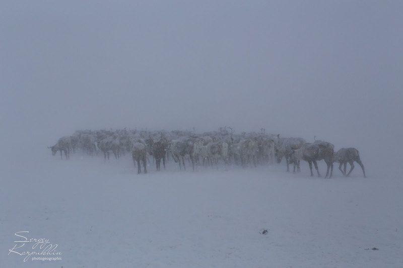 полярный урал, ямал, олени, оленеводы Пургаphoto preview