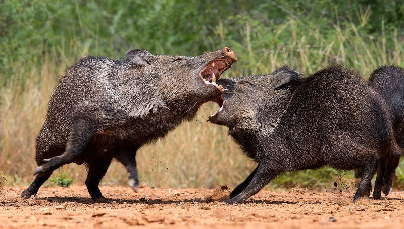 javelinas, animals,животные, tx, texas, peccary, пекариевые Cхватка! Javelinas Fight for Corn.photo preview
