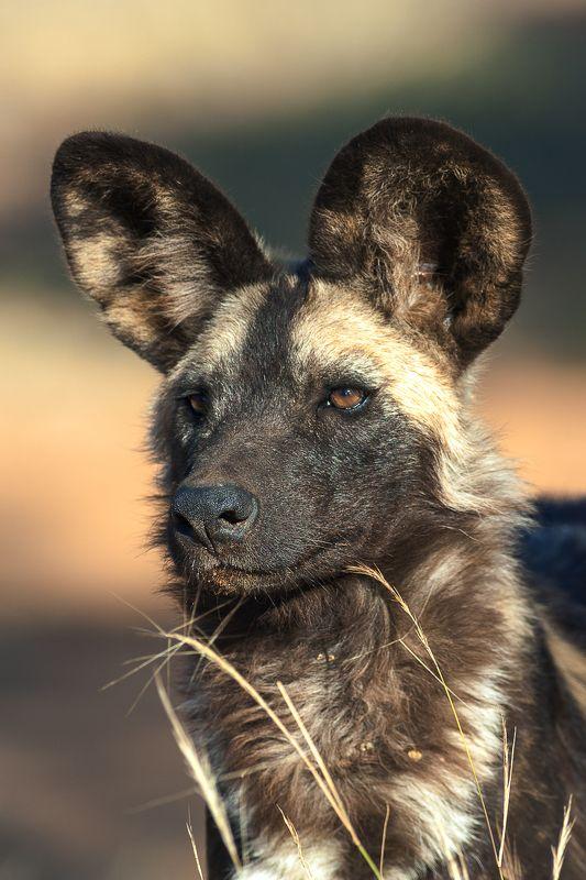 намибия  дикая собака Дикая собакаphoto preview