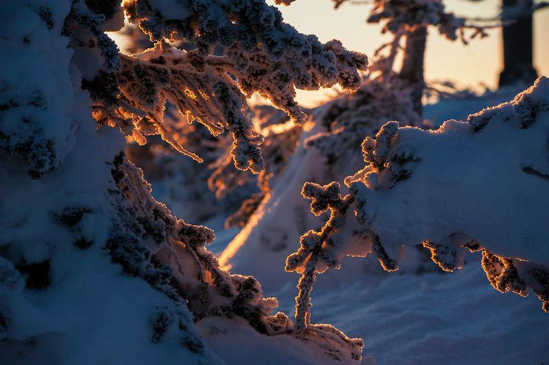зима, снег, пихты, розовый вечер, с новым годом, гора, зелёная, шерегеш, горная шория, сибирь В лесу родилась ёлочка...)photo preview