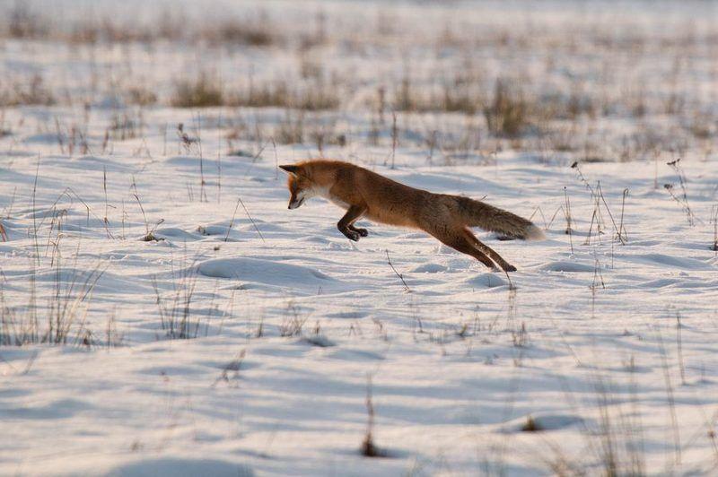 лисица, дикие животные, Из жизни лисphoto preview