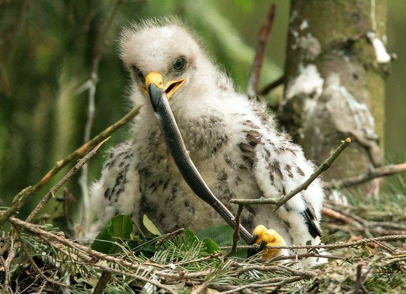 птицы, подорлик, гнездо, птенец, Взрослениеphoto preview
