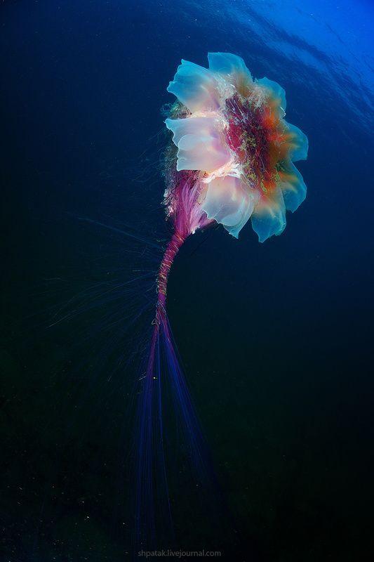 Дайвинг на севере Приморья. Бухта Рудная. Гигантские медузы Цианея волосистая.photo preview