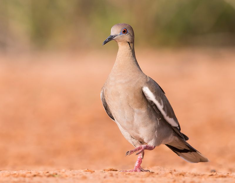 white winged dove, голубь, dove, texas White winged Dove - Горлицаphoto preview