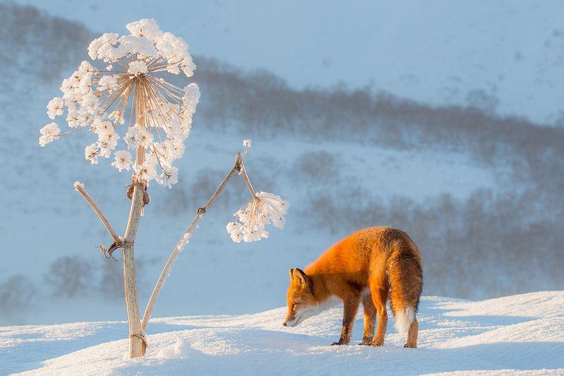 Камчатка, лиса, животные, природа, путешествие, россия, зима, Снежный одуванчикphoto preview