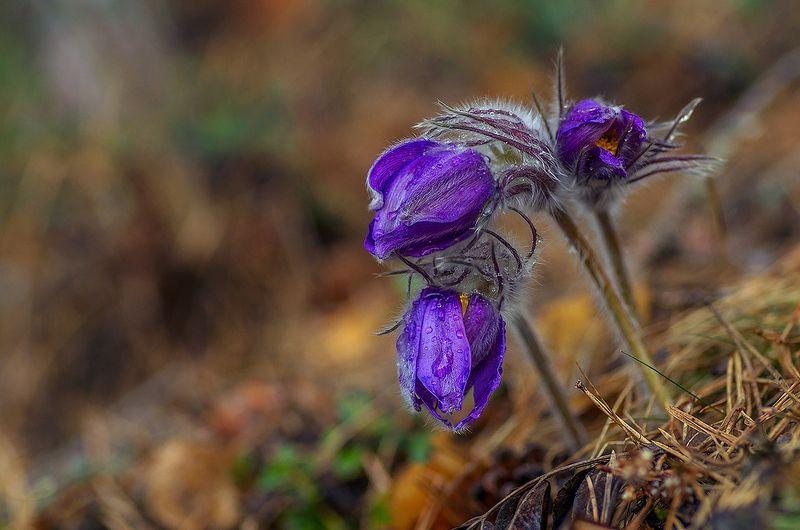 сон-трава пострел  обыкновенный шмель лимонница бабочка весна цветы про весну, бабочку, шмеля и сон-травуphoto preview
