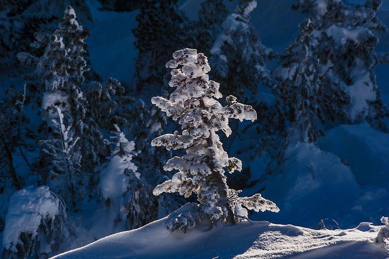 елки, зима, солнце, снег, сугробы, пихты, шерегеш, горная шория, сибирь Коллекция ёлочек из Шерегешаphoto preview