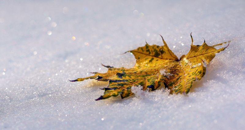 природа, макро, осень, снег, белый, опавший лист, желтый, боке Остатки роскошиphoto preview