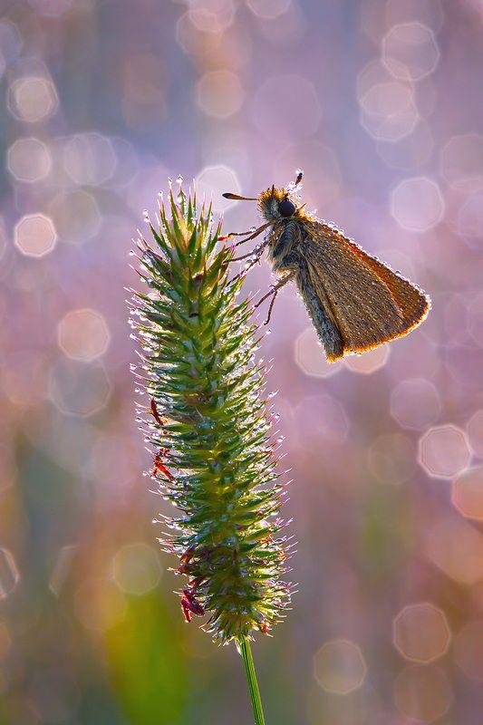 макро, насекомое, бабочка, роса, утро, природа Сиреневое утроphoto preview