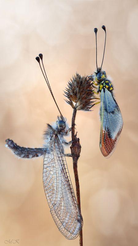 аскалаф, булавоуска, ascalaphidae Аскалафыphoto preview