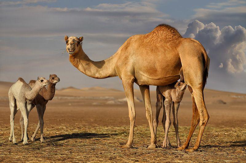 верблюдица, верблюжата, кормление, сахара, пески, улыбка Кормилицаphoto preview
