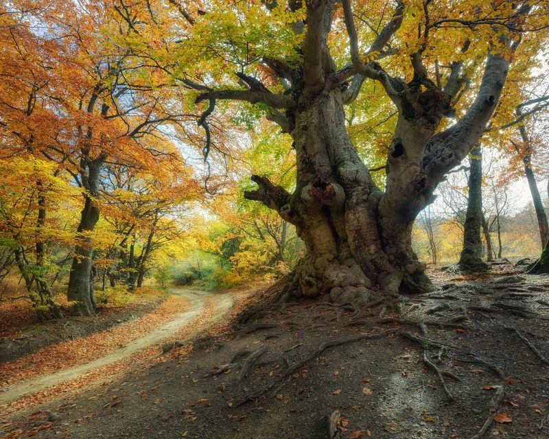крым, природа, осень, бук, листья Придорожный великанphoto preview