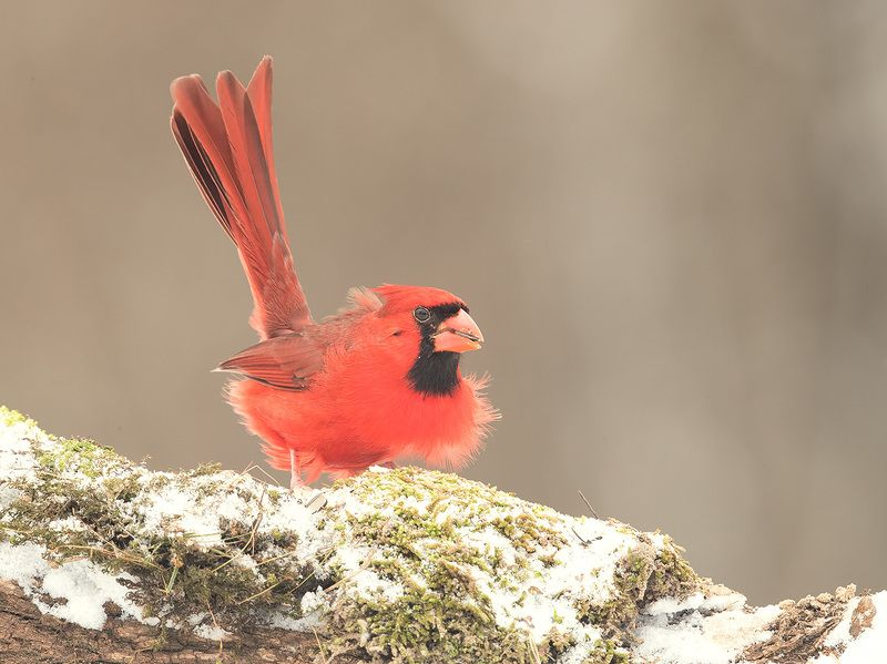 красный кардинал, northern cardinal,cardinal, кардинал, snow,снег Красный кардинал - Northern Cardinal male. Fist Snowphoto preview