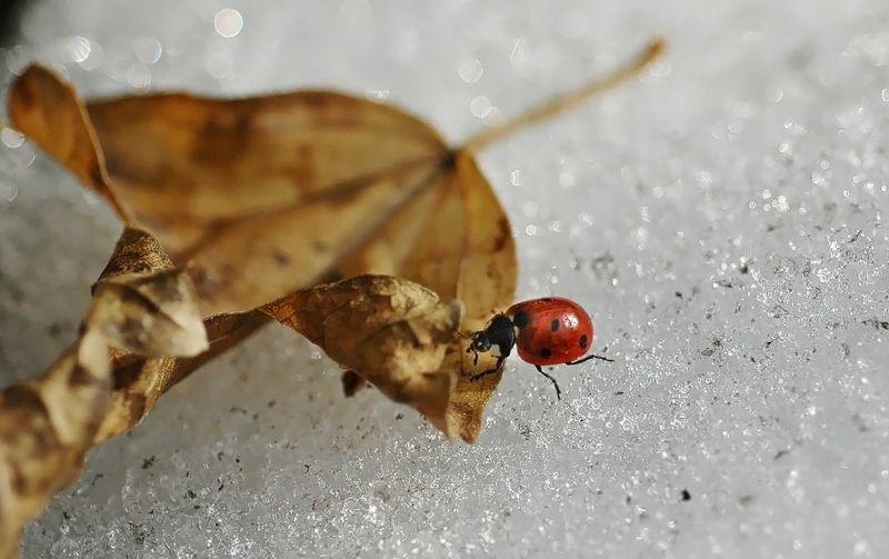 природа, макро, зима, оттепель, насекомое, жук, божья коровка, опавший лист, снег, оттепель Зимние похождения божьей коровкиphoto preview