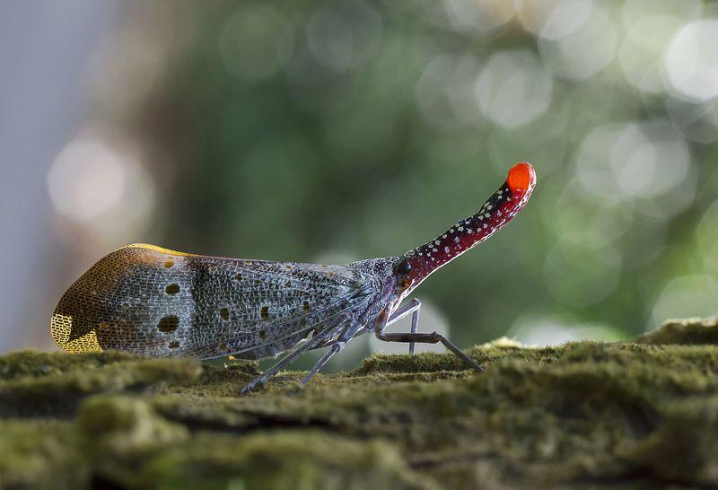 Lantern Bug 180118Aphoto preview