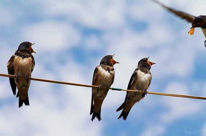 ласточки, касатки, rare, птицы, природа, небо - Мне! - Мне! - Мне!photo preview