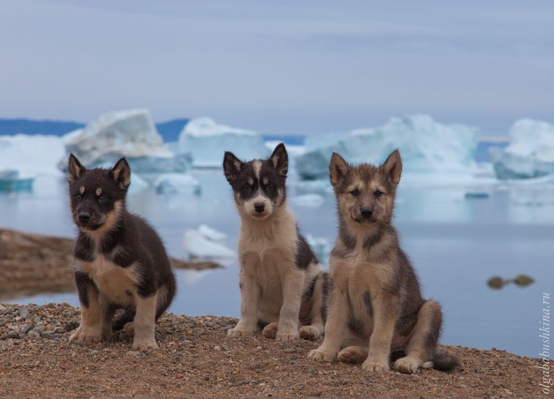 гренландия, айсберги, щенки Гренландские ездовые щенкиphoto preview