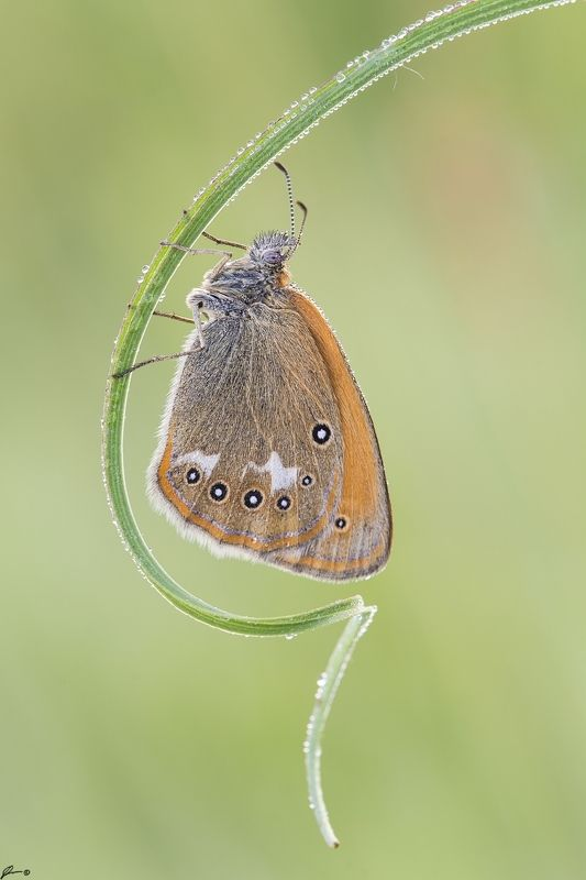 macro, makro, wild, wildlife, buttrrfly, nature, insect Coenonympha glycerionphoto preview