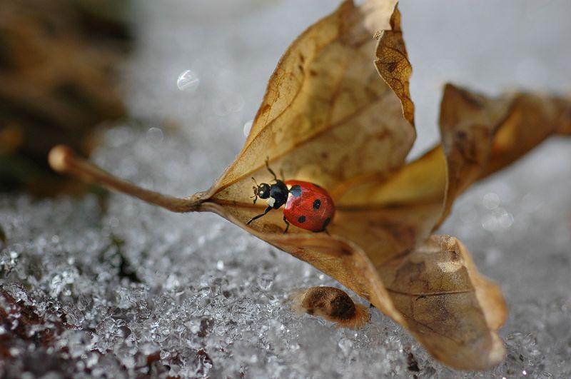 природа, макро, зима, оттепель, насекомое, жук, божья коровка, опавший лист, снег, оттепель Зимнее путешествие божьей коровкиphoto preview