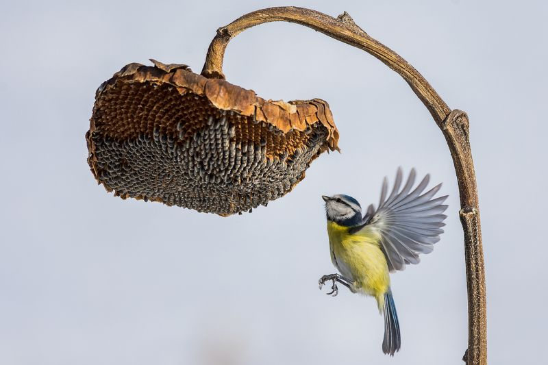 blue tit,bird,animal,fly,sunnflower,winter,nature,action,sport,sunshine,landscape синяя синица и подсолнечник, blue titphoto preview