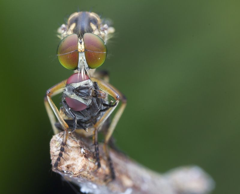 #macro#robberfly#prey#colors Robber Fly With Prey 180123Aphoto preview