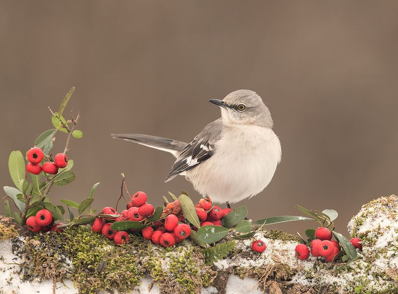 многоголосый пересмешник, northern mockingbird, пересмешник, зима, снег, птицы на снегу Любитель ягод.  Многоголосый пересмешник -Northern Mockingbirdphoto preview