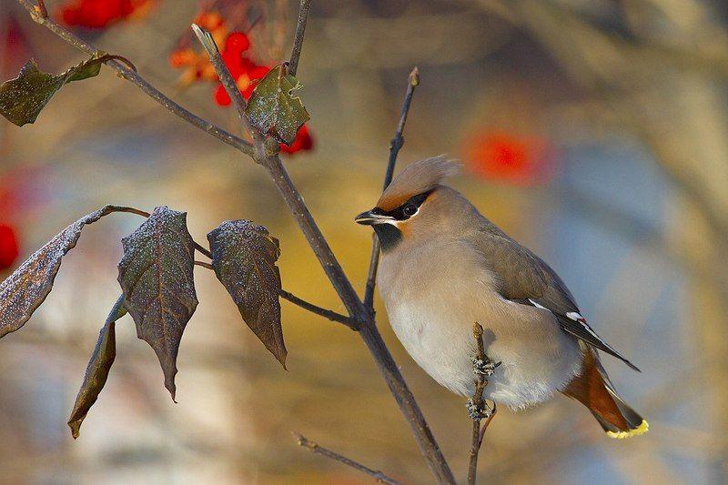 птицы,север,печора,коми,анималистика,свиристель Свиристельphoto preview
