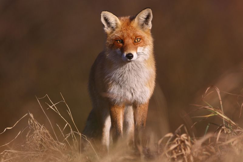 Vulpes Vulpesphoto preview