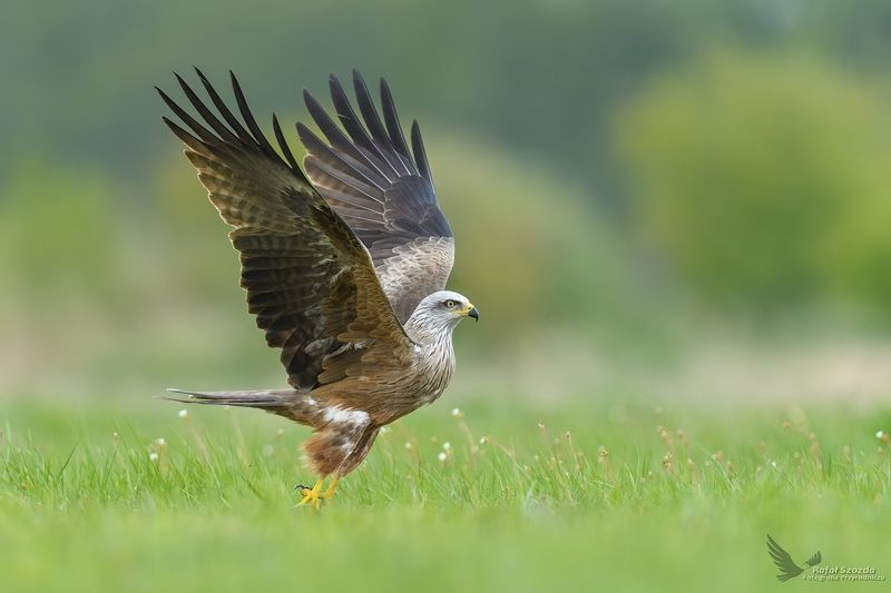 black kite, birds, nature, animals, wildlife, colors, meadow, nikon, nikkor, flight, lens, green, lubuskie, poland Kania Czarna, Black Kite (Milvus migrans) ...photo preview