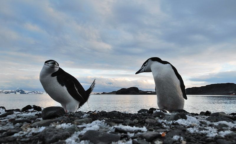 пингвины, антарктика, остров king georg Пингвинья тусовкаphoto preview