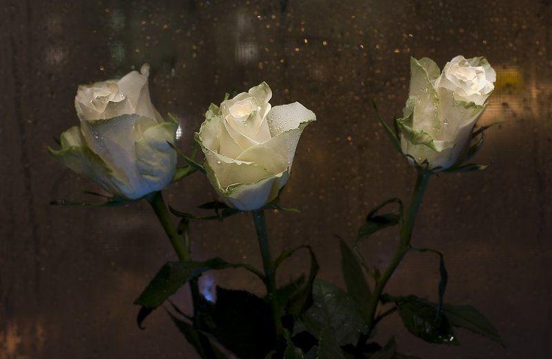 розы, февраль, капли, окно А за окном февраль...photo preview