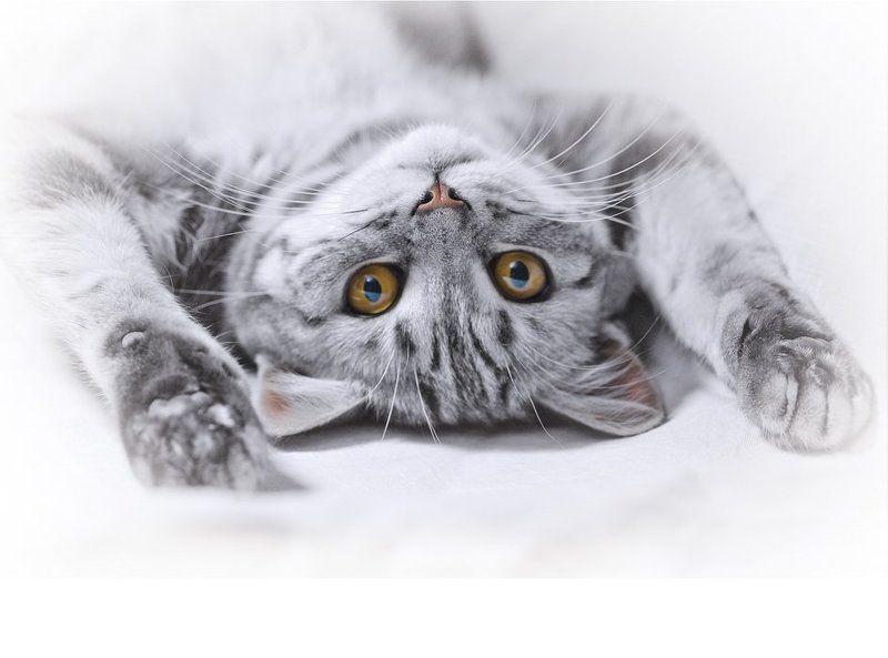 кошка, британка модЭльphoto preview