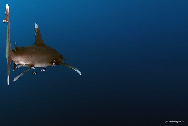 акула, лонгиманус \