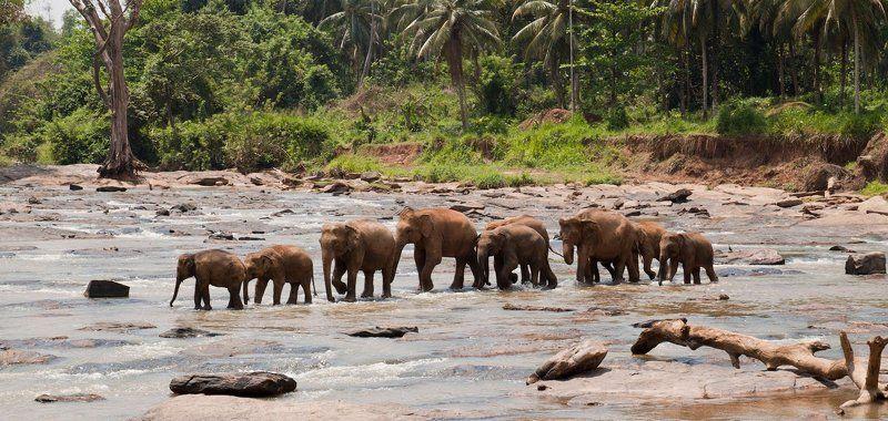 слоны, шри, ланка Слонова семьяphoto preview